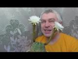 У меня цветёт кактус, у кактуса два белых цветка