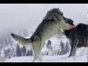 Batalha mortal Lobo cinzento vs Lobo solitário, reino animal, vida selvagem