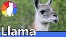 Llama Animal Fact Files