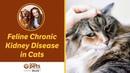 Хроническая болезнь почек у кошек / Feline Chronic Kidney Disease in Cats