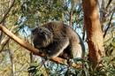 Мир Приключений Коала в дикой природе Лучший отдых в Австралии Koala Australia