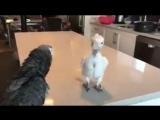 Попугай танцует - Даже если вы в наихудшем состоянии с одним пером - не отчаивайтесь! будьте счастливы, наслаждайтесь жизнью