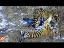 Выпуск Сайхана и тигрицы из Лазо