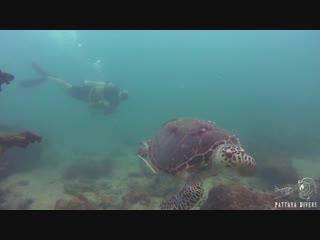 Hawksbill Turtles at