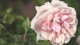 Роза Aphrodite (Афродита) ROSEN TANTAU