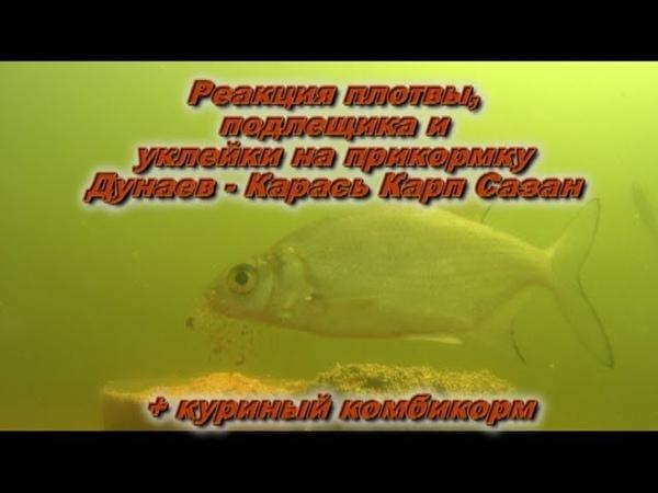 Реакция плотвы подлещика и уклейки на прикормку Dunaev Карась Карп Сазан Подводная съемка