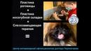 Пластика носогубной складки у собаки породы пекинес