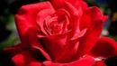 Очень красивые розы и музыка Игоря Крутого.Very beautiful music .