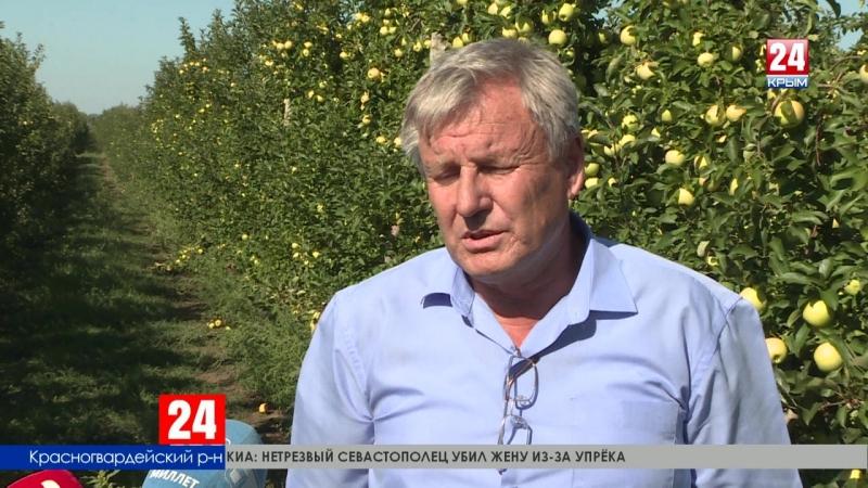 В Крыму продолжается сбор рекордного урожая яблок