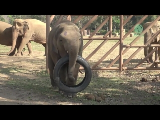 Baby elephant play with everything they see