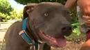 Питбуль спас схватил ребёнка и потащил... Мама до сих пор не знает как отблагодарить собаку за спасение.