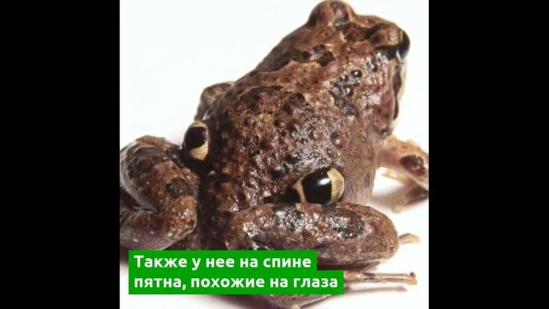Стало больше известно о четырехглазой лягушке
