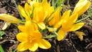 Что посадить в октябре Луковичные цветы