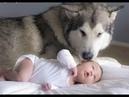 Husky siberiano e bebês | Melhores e mais fofos Vídeos de cachorros e Bebes Brincando