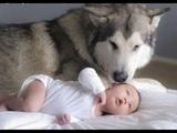 Husky siberiano e beb