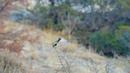 Большие синицы (Parus major) в окрестностях водохранилища Гермасойя, Лимасол, Кипр