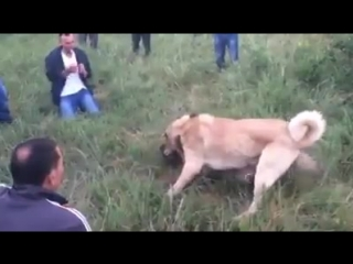 Kangal vs sharplaninac