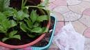 Георгинки просятся в сад но ещё рано Что предпринять