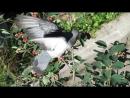 Поспевает ирга — лакомство для всех птиц.