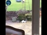 Горностай ворует яйцо