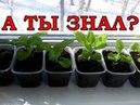 ПЕТУНИЯ технология выращивания