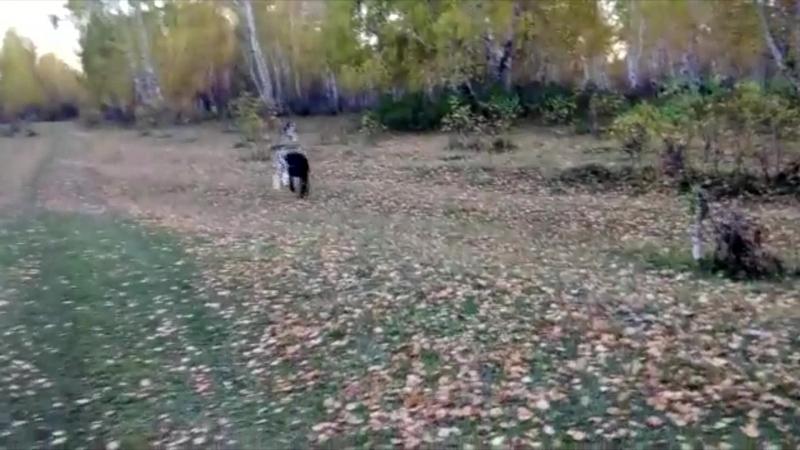 Собаки нашего питомника: Белый Лекарь Металлика, Шей Бир Зария, Трайпл Траст Нодир - www.beliy-lekar.ru