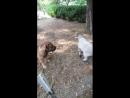 бурбуль и ягненок