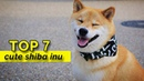 7 Funniest Shiba Inu Videos