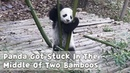 Panda Got Stuck In The Middle Of Two Bamboos iPanda