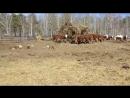 Коровы герефордской породы