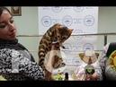 Презентация бенгальской кошки BARBY IMPERATRICA на Церемонии награждения