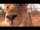 Дикий лев играет, как собака (хорошее настроение, забавное, в мире дикой природы, король лев, семья, прайм, звери играются).