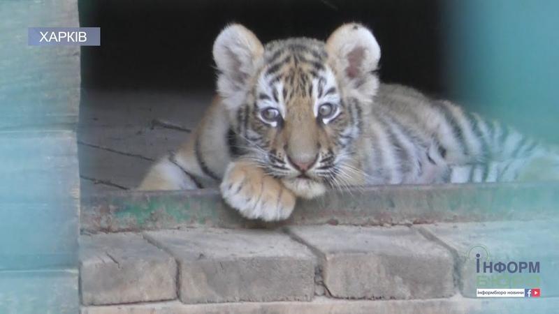Смугасте поповнення в екопарку народилися тигренята