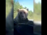 В Якутии медведь поиграл с машиной в которой находился человек