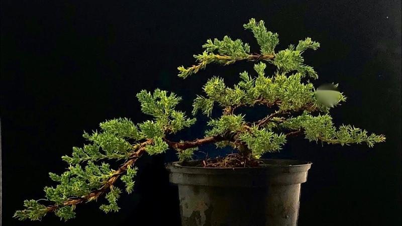5 Euro bonsai juniper first pruning for cascade
