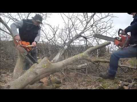 Walnut tree felling with ZID TAJGA 245 OLEO - MAC 937 chainsaw / láncfűrész