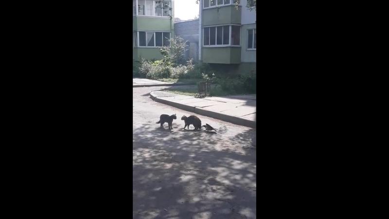 Ворон и коты