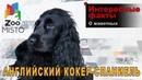 Английский кокер-спаниель - Интересные факты о породе   Собака породы английский кокер-спаниель