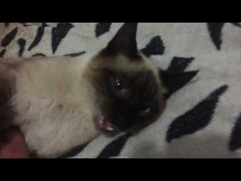 Сиамские коты злые? ( на память его скушали волки и это не шутка)