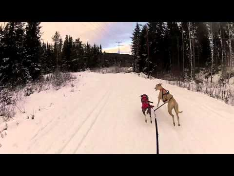 Whippet mushing with sledding board!