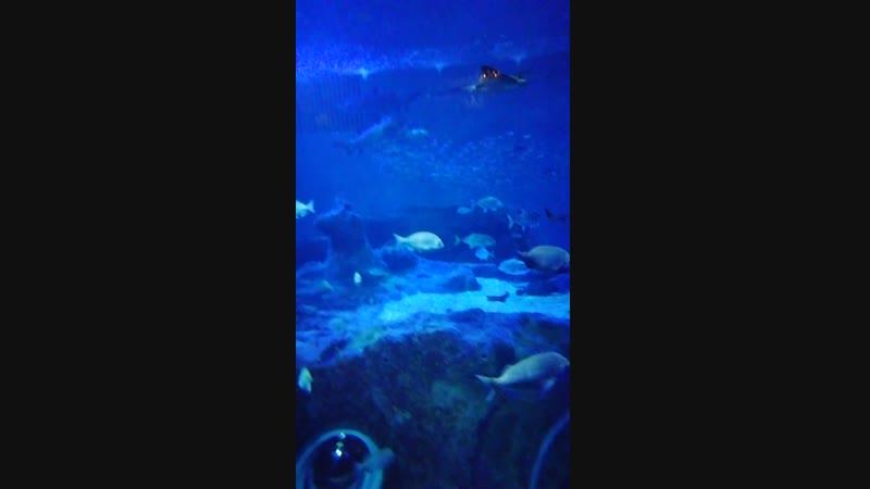 Горбатая акула