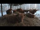 Scottish Highland Cattle In Finland: Winter forest cows