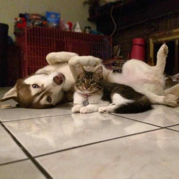 Мяугли: как собака хаски воспитала котенка Это кошка по имени Рози. Она пока не начала лаять, но уже ворует еду из собачьей миски и гуляет с местной стаей. Рози подобрали на улицах Калифорнии —
