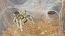 🕷 Holothele Incei Trinidad Olive Tarantula ( Feeding ) 🕷