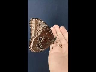 Захотелось поделиться своими эмоциями с Вами мои хорошие. Восхищение от рождения Тропической Бабочки