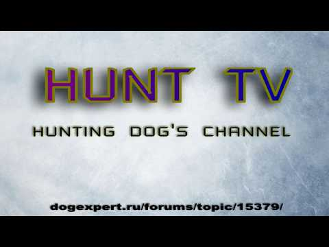 Hunt Tv - hunting dog's channel .