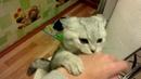 Саймон - кот британец. Саймон драчун))