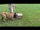Rommel van Wolfs Kennel 3,5 months old