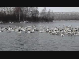 Белые лебеди зимуют в Алтайском крае (озеро Лебединое, возле села Урожайное, Советский район). Песня «БЕЛЫЕ ЛЕБЕДИ» - исп. Анато