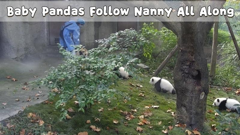 Baby Pandas Follow Nanny All Along iPanda